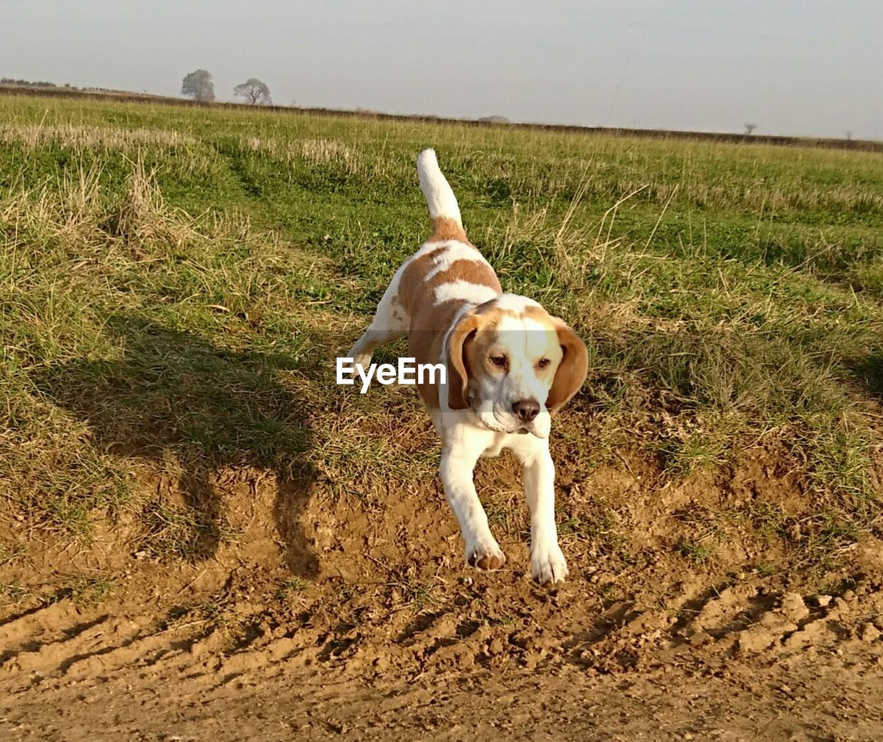 mammal, one animal, dog, canine, pets, animal themes, animal, domestic, domestic animals, vertebrate, land, field, grass, plant, nature, no people, day, landscape, environment, running