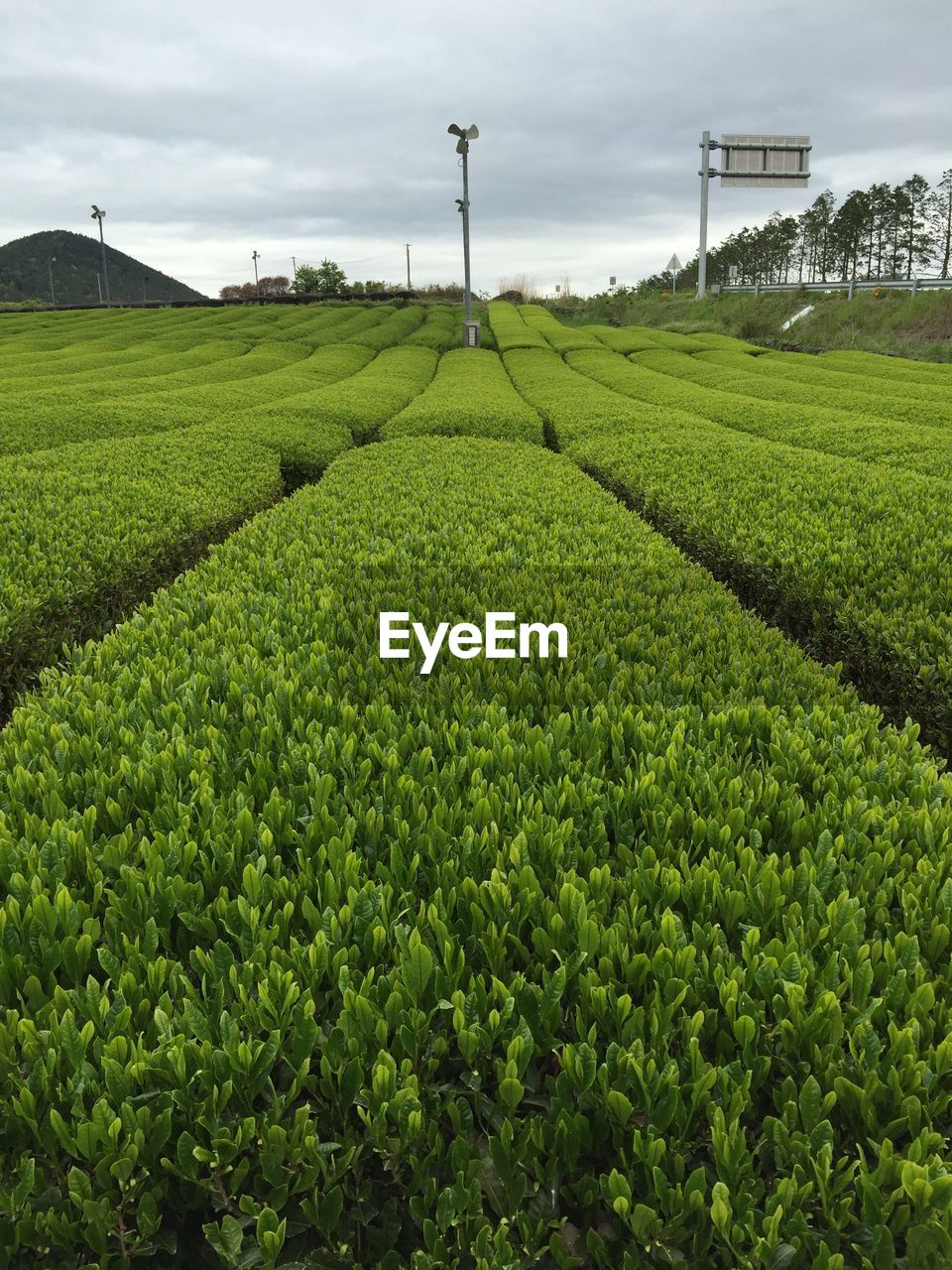 agriculture, growth, field, green color, crop, day, nature, no people, outdoors, beauty in nature, plant, rural scene, sky, freshness, tea crop