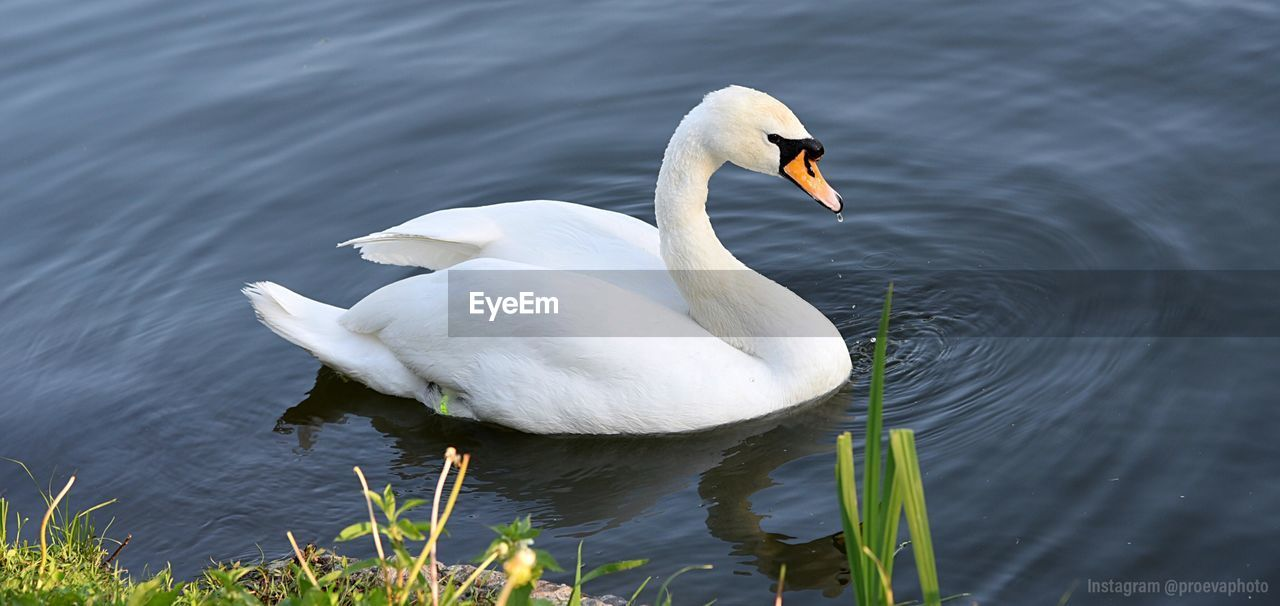 water, animals in the wild, animal wildlife, animal, animal themes, lake, bird, vertebrate, swimming, white color, swan, nature, no people, day, one animal, water bird, reflection, beauty in nature, zoology, floating on water, animal family