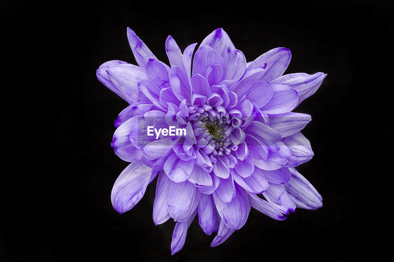 flower, flowering plant, vulnerability, fragility, petal, studio shot, freshness, flower head, beauty in nature, plant, inflorescence, black background, close-up, growth, nature, purple, no people, indoors, pollen