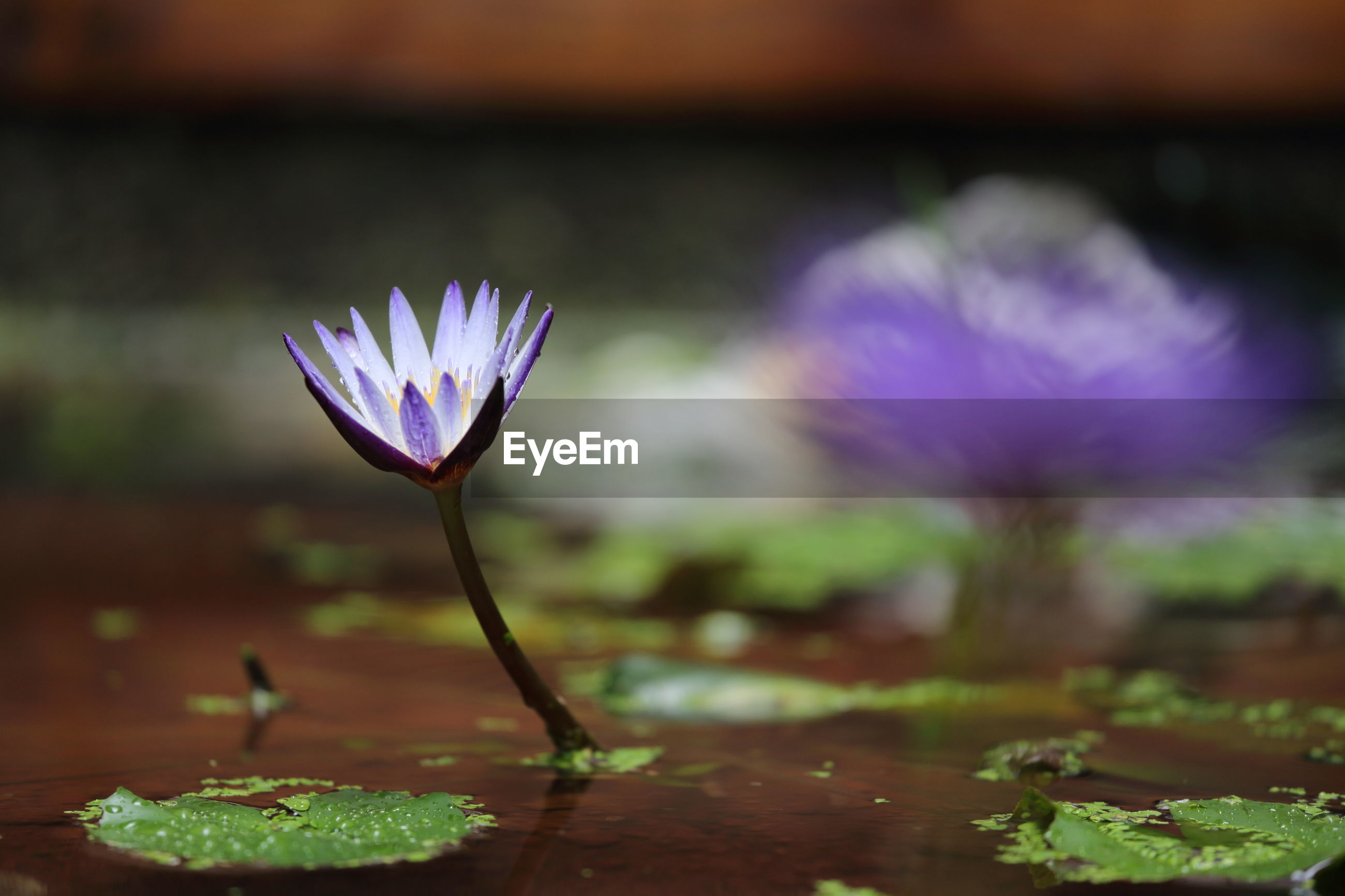 CLOSE-UP OF PURPLE WATER LILY FLOWERS GROWING ON FIELD
