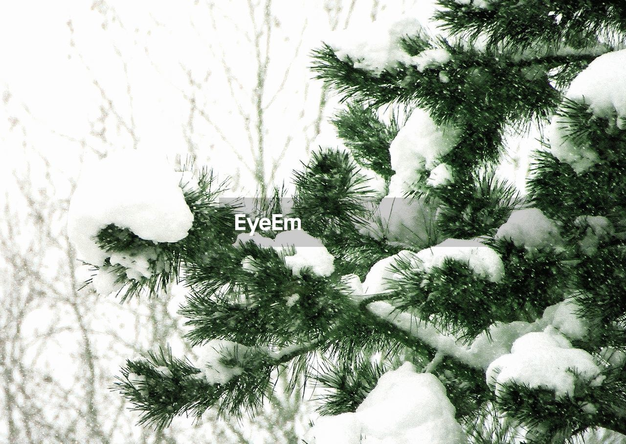 plant, snow, tree, winter, cold temperature, nature, no people, beauty in nature, white color, day, frozen, growth, branch, close-up, pine tree, sky, outdoors, tranquility, low angle view, coniferous tree, fir tree, snowing