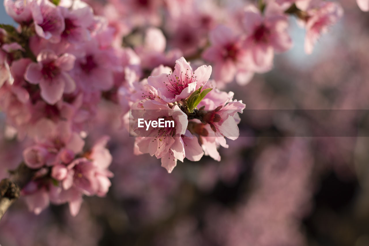 flower, flowering plant, fragility, freshness, plant, growth, beauty in nature, vulnerability, pink color, close-up, nature, petal, no people, day, inflorescence, blossom, flower head, selective focus, outdoors, botany, springtime, cherry blossom, cherry tree, pollen, bunch of flowers, spring
