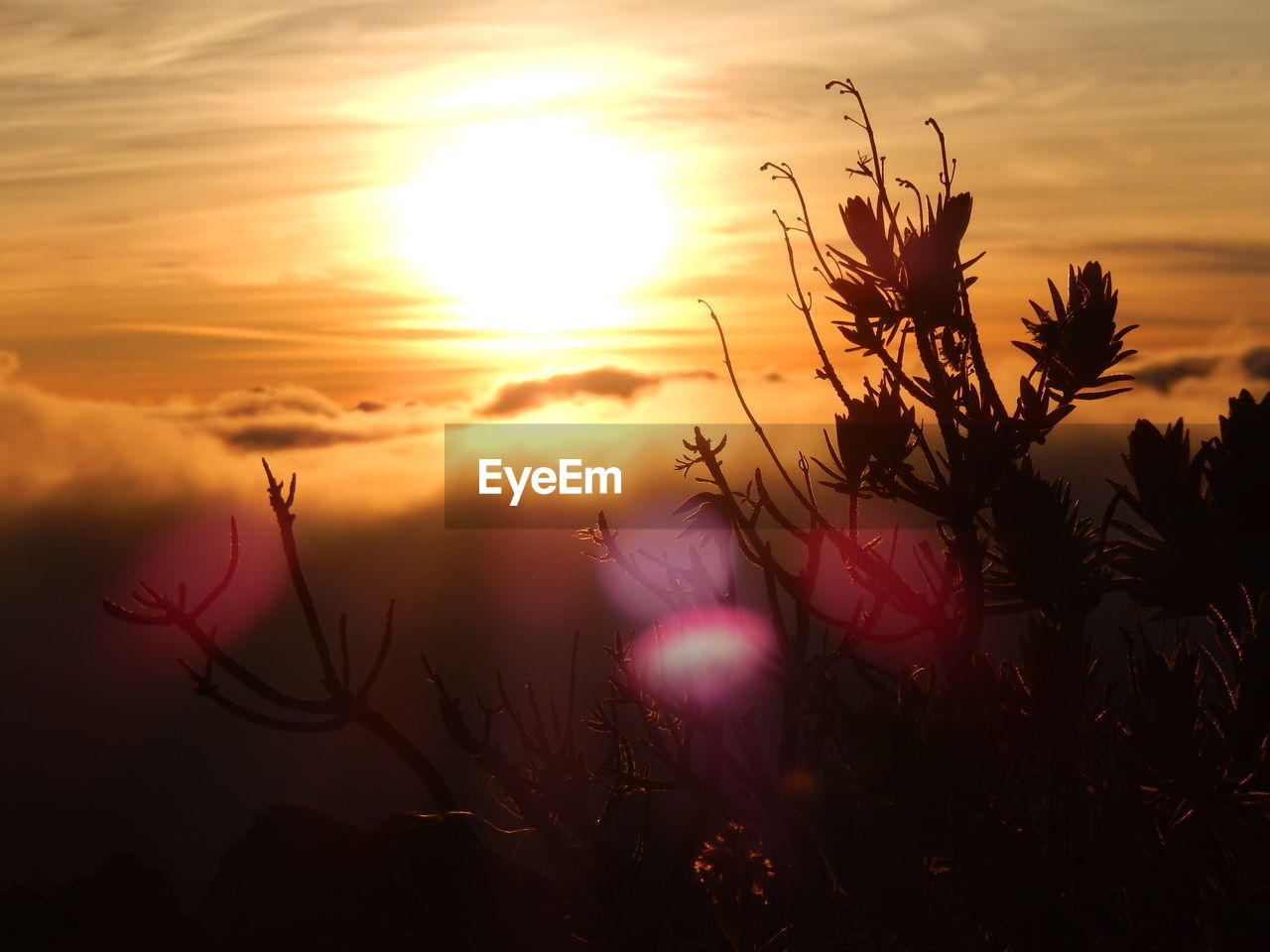 sunset, sky, beauty in nature, plant, sun, cloud - sky, growth, scenics - nature, nature, tranquility, orange color, flower, flowering plant, no people, silhouette, sunlight, close-up, fragility, freshness, vulnerability, lens flare, outdoors, flower head, stalk