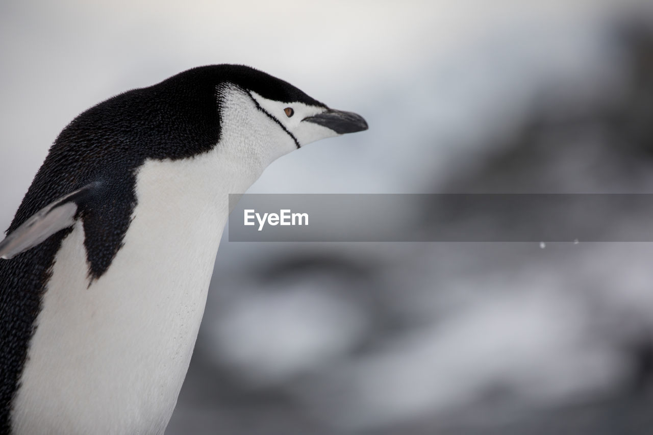 animal themes, animal, bird, vertebrate, animal wildlife, animals in the wild, penguin, focus on foreground, one animal, close-up, no people, side view, day, nature, beak, outdoors, beauty in nature, black color, zoology, animal body part, animal head, animal neck