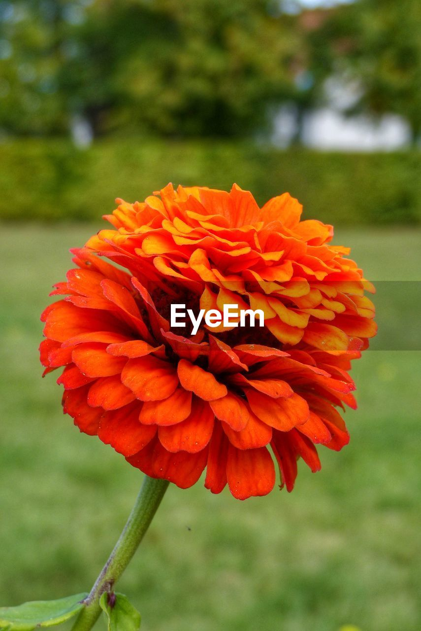 flower, beauty in nature, nature, petal, growth, fragility, freshness, flower head, plant, red, focus on foreground, blooming, outdoors, day, park - man made space, no people, close-up, zinnia