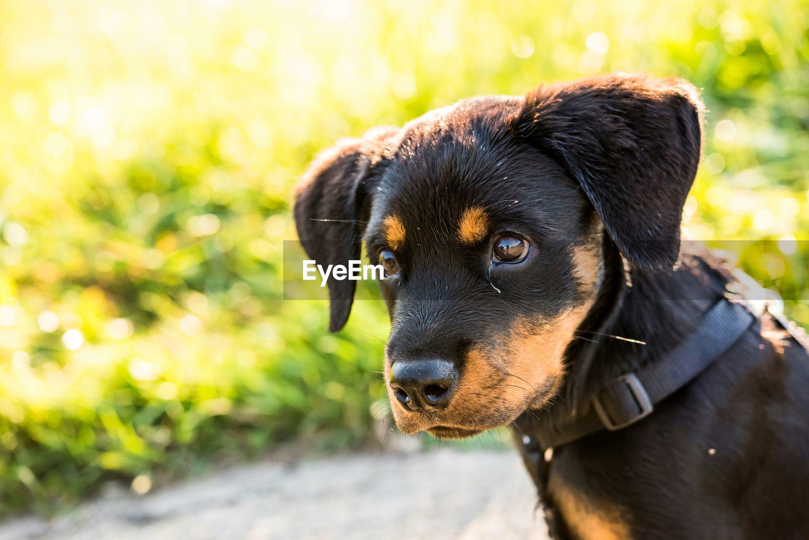Close-up of dachshund puppy