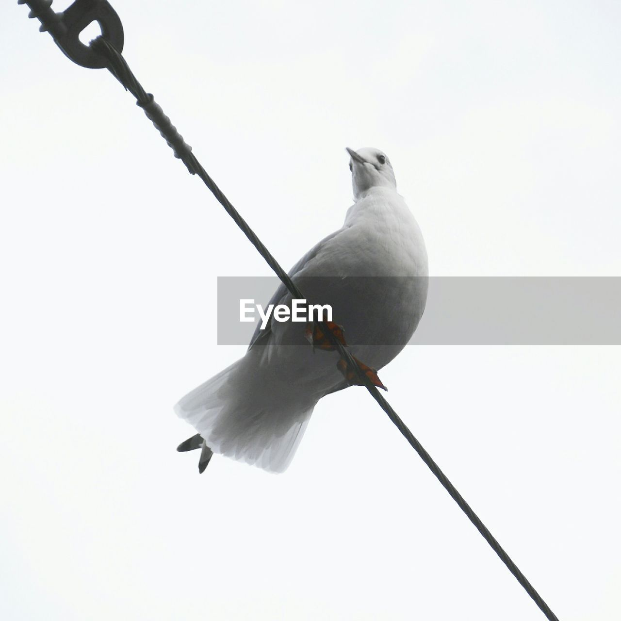 Low angle view of dove perching on cable against clear sky