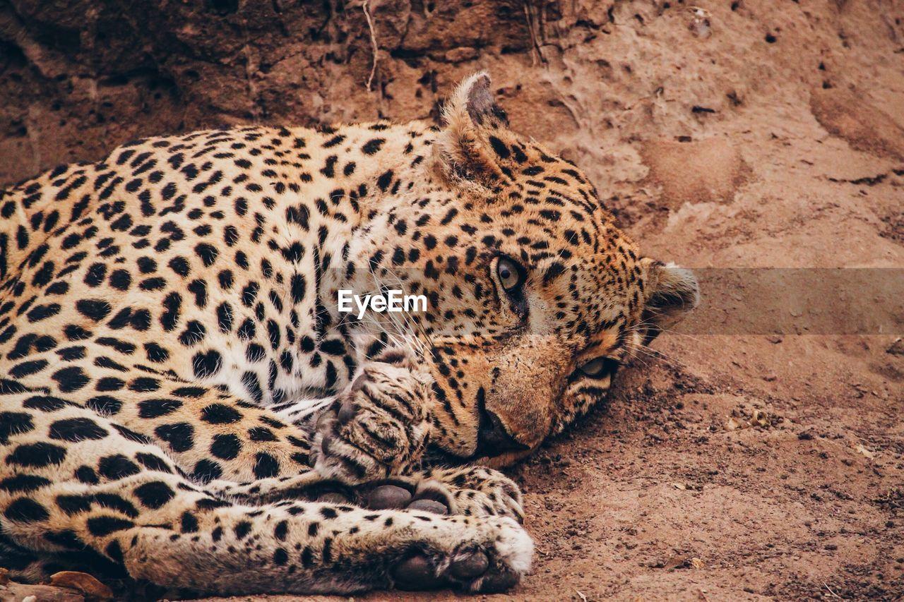 Alert Cheetah Laying On Dirt