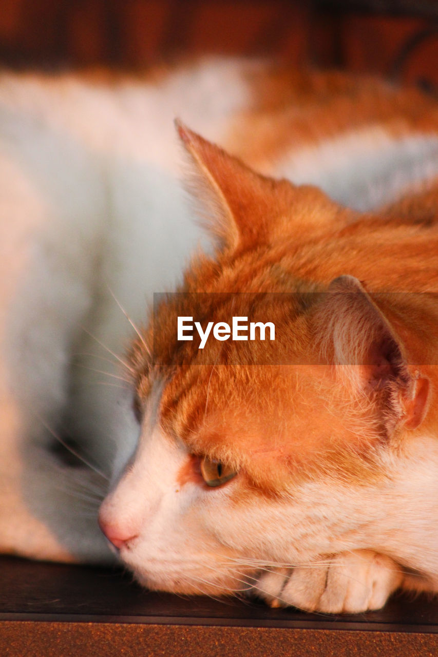 mammal, animal themes, animal, domestic, pets, domestic animals, one animal, close-up, vertebrate, cat, relaxation, no people, domestic cat, feline, looking, animal body part, looking away, focus on foreground, orange color, whisker, animal head, ginger cat, animal eye