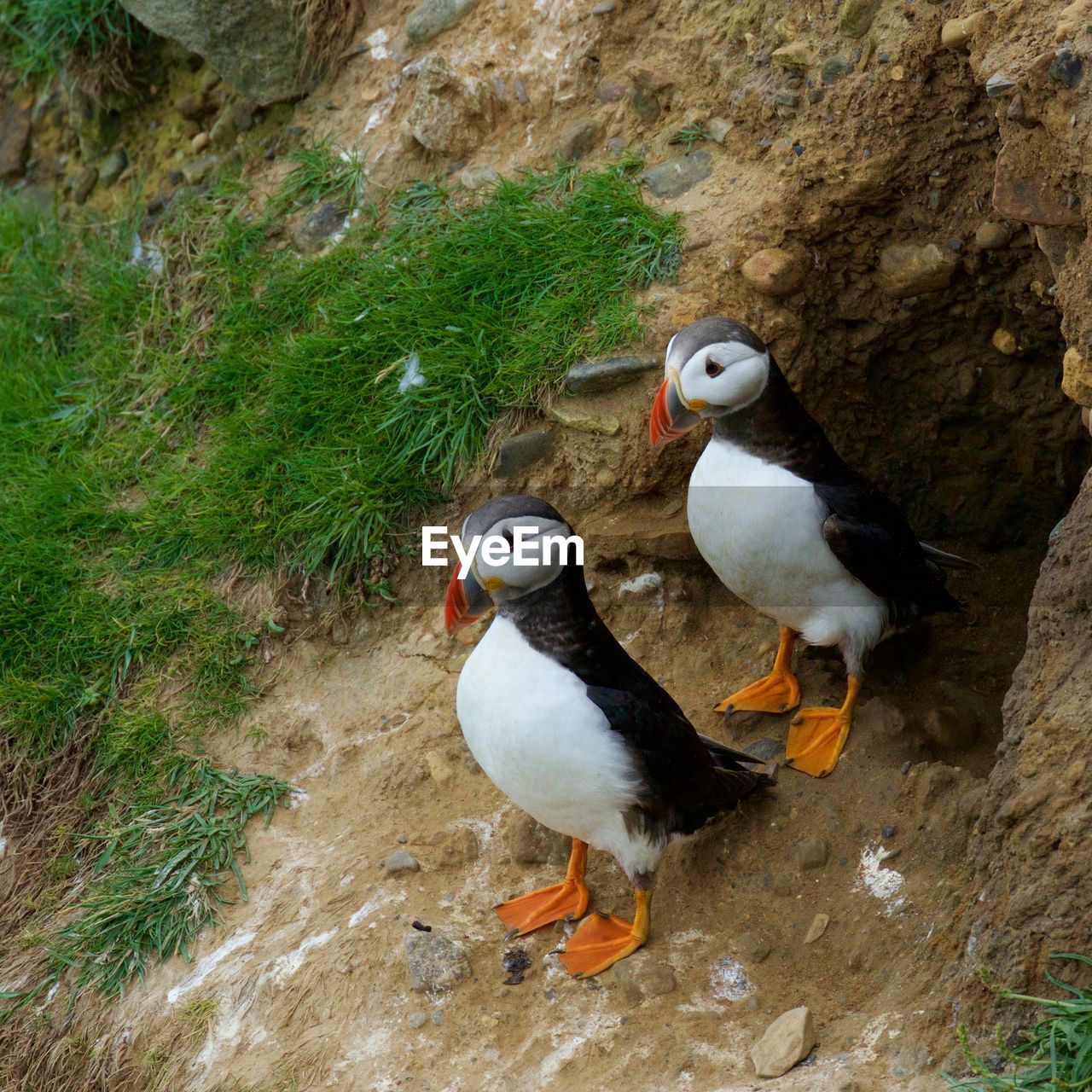 High angle view of puffins on field by nest