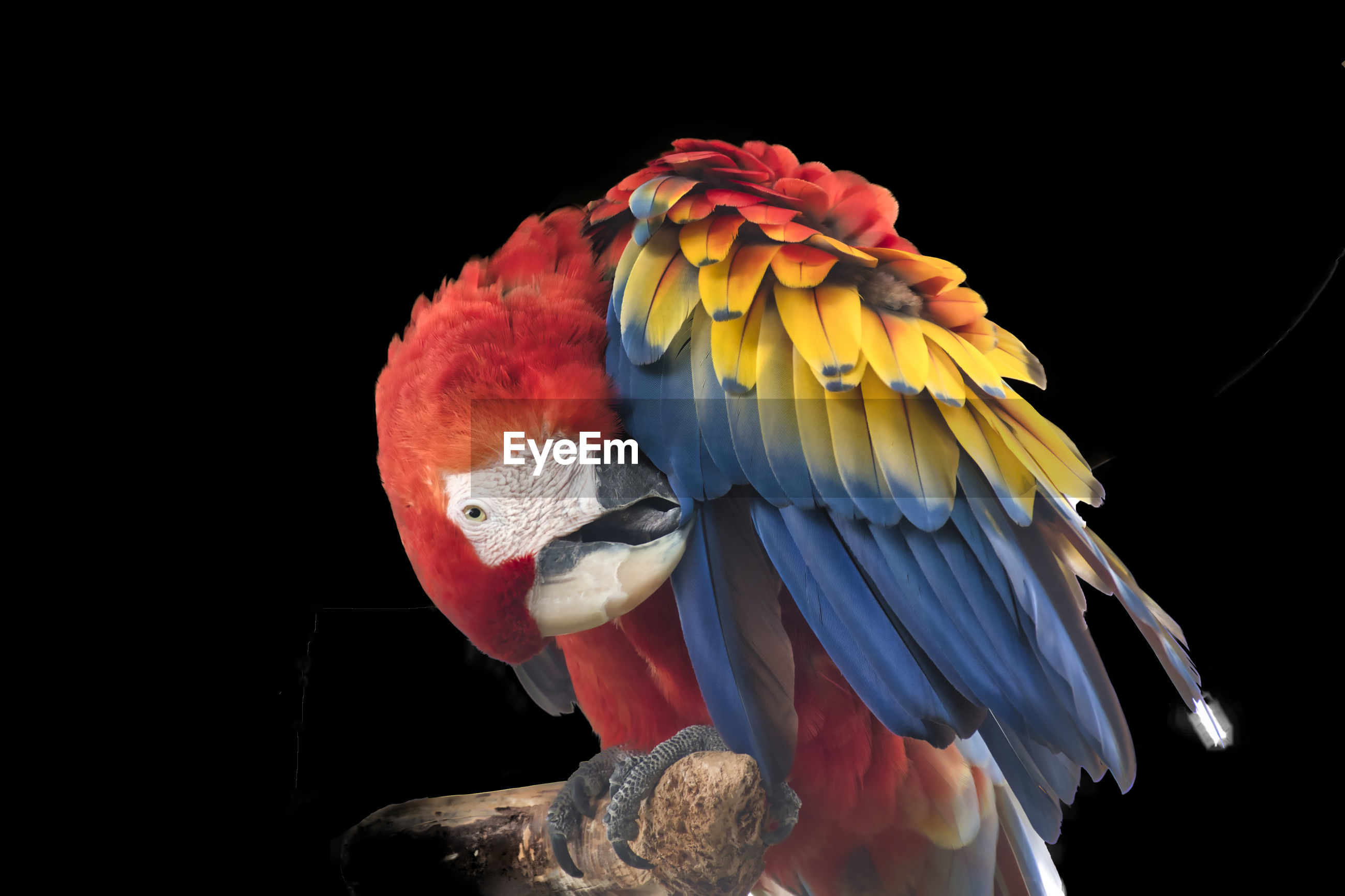Close-up of multicolor parrot perching on black background