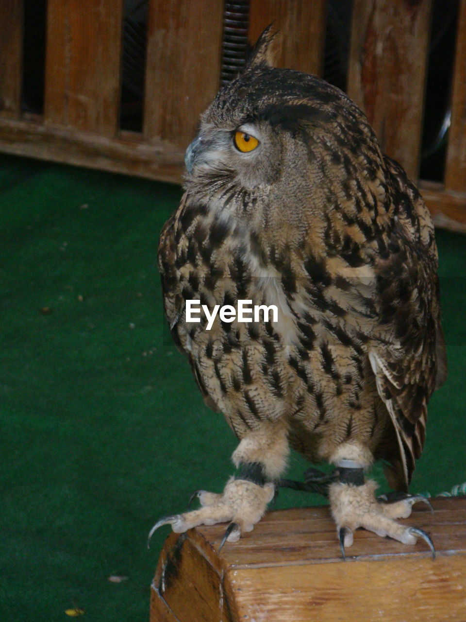 bird, one animal, animal themes, animal wildlife, animals in the wild, bird of prey, perching, wood - material, no people, close-up, owl, day, nature, indoors