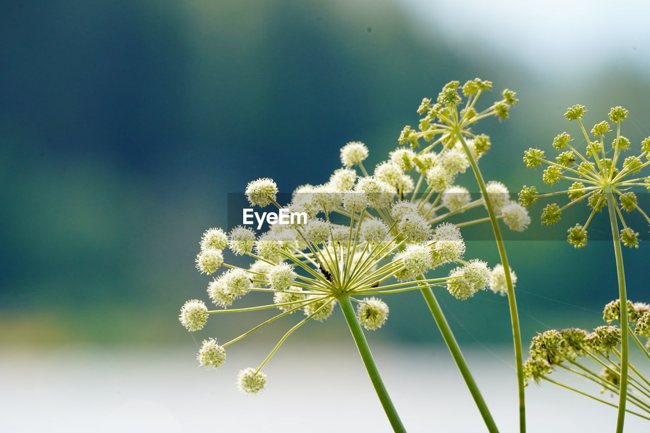 flower, flowering plant, plant, fragility, vulnerability, freshness, growth, beauty in nature, close-up, nature, focus on foreground, flower head, no people, day, inflorescence, white color, plant stem, sunlight, selective focus, outdoors, springtime, softness, dandelion seed
