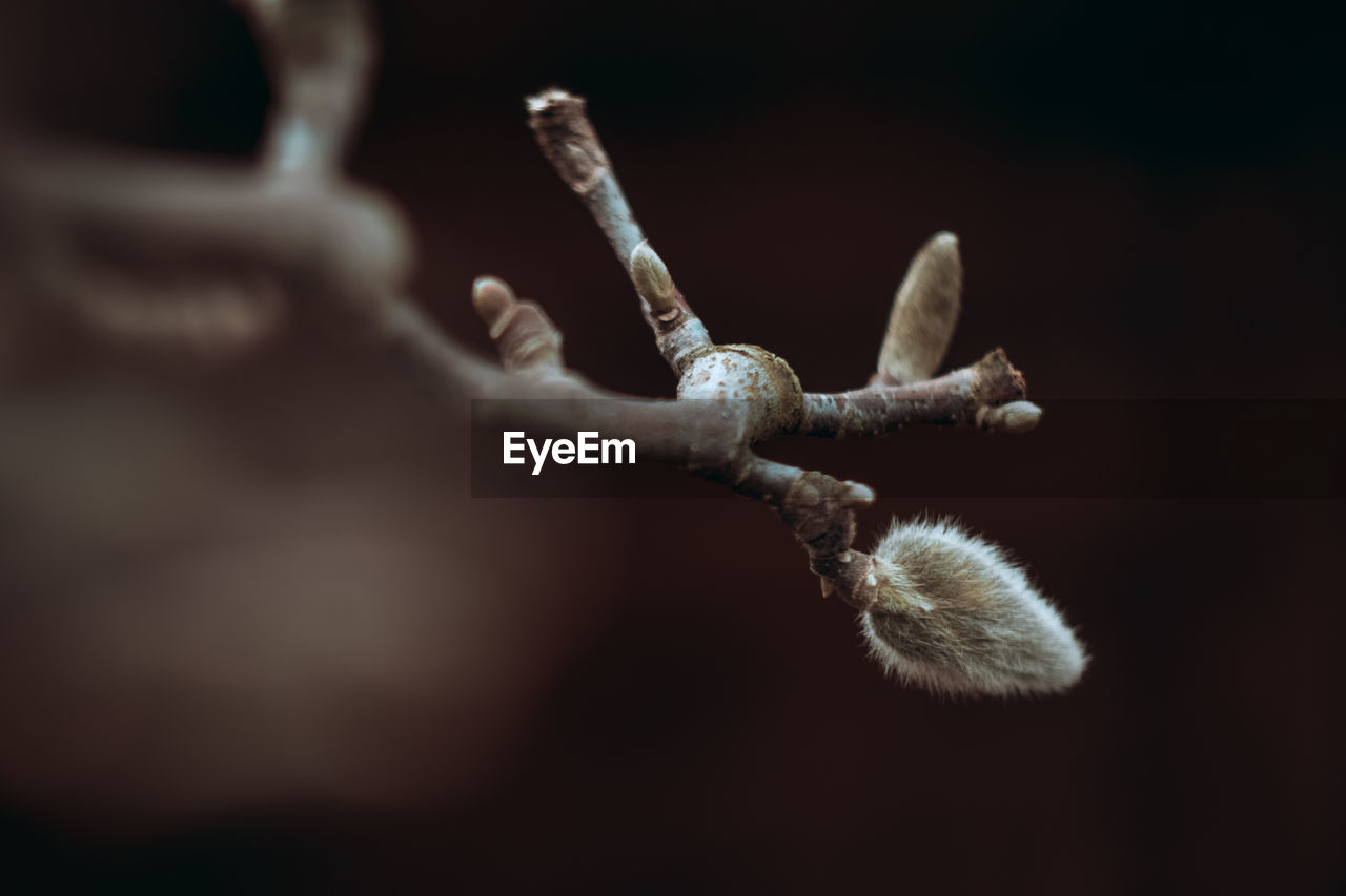 close-up, selective focus, no people, nature, plant, growth, day, focus on foreground, beauty in nature, tranquility, metal, black background, outdoors, flower, fragility, rusty, vulnerability, wood - material, twig, pussy willow