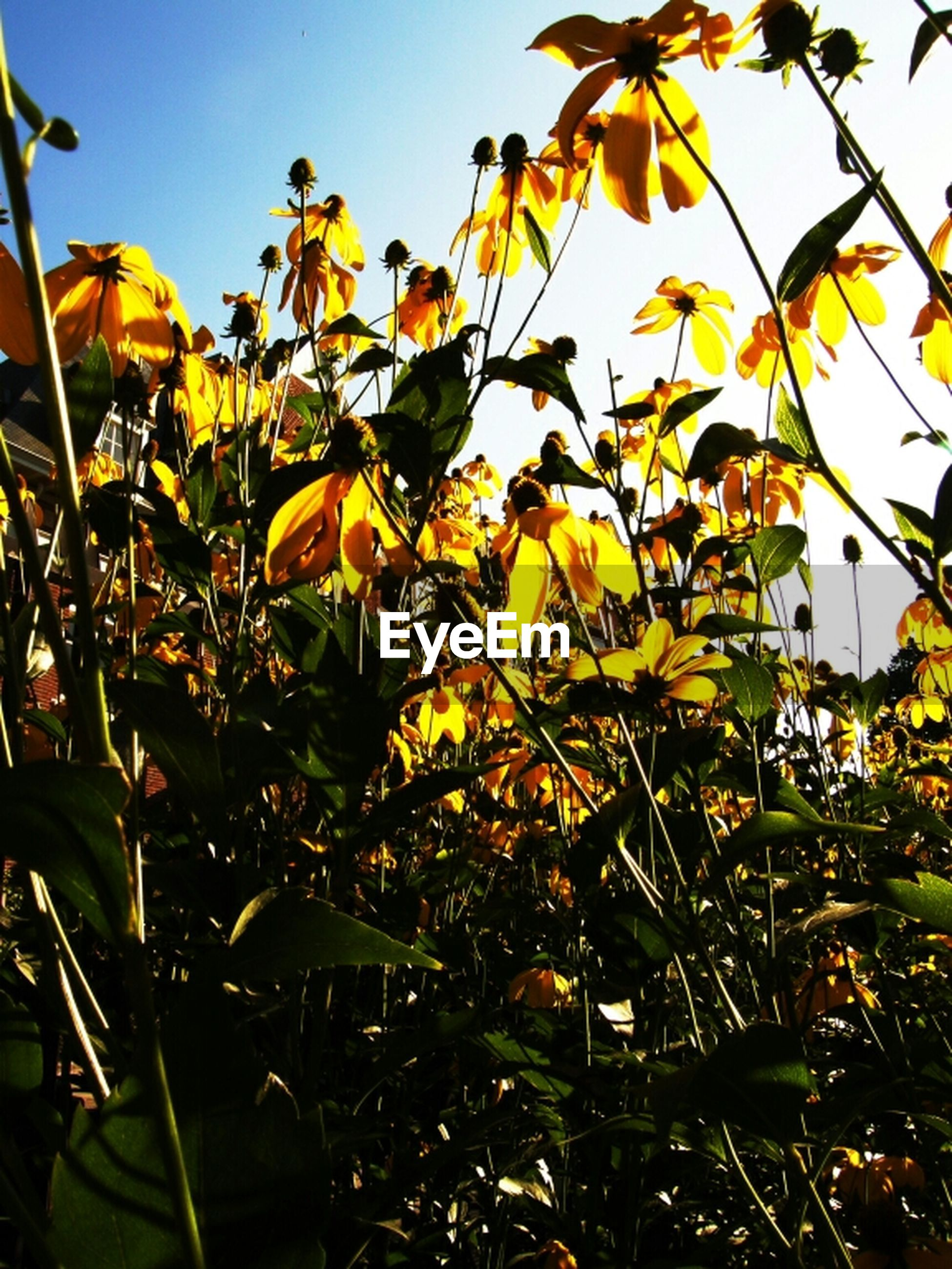 growth, yellow, leaf, low angle view, tree, branch, clear sky, nature, sky, beauty in nature, sunlight, plant, freshness, outdoors, day, no people, flower, autumn, close-up, blue