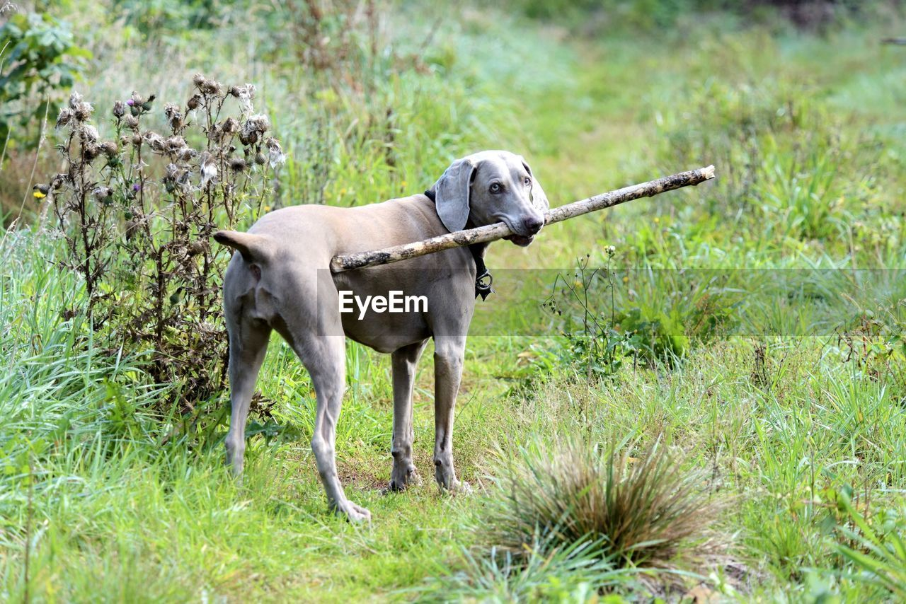 Dog With Stick In Mouth Standing On Grass
