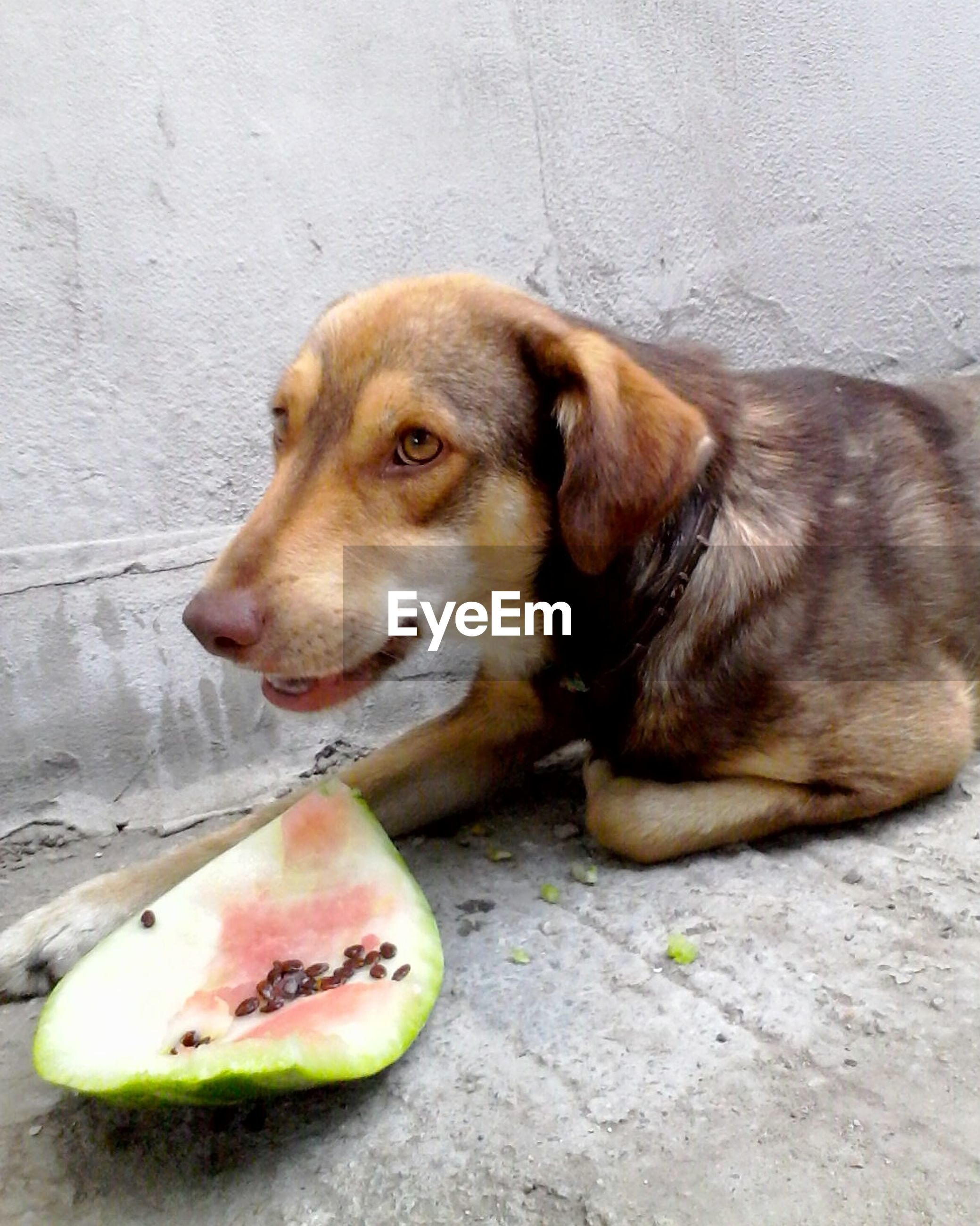 Dog with peeling of watermelon relaxing on field