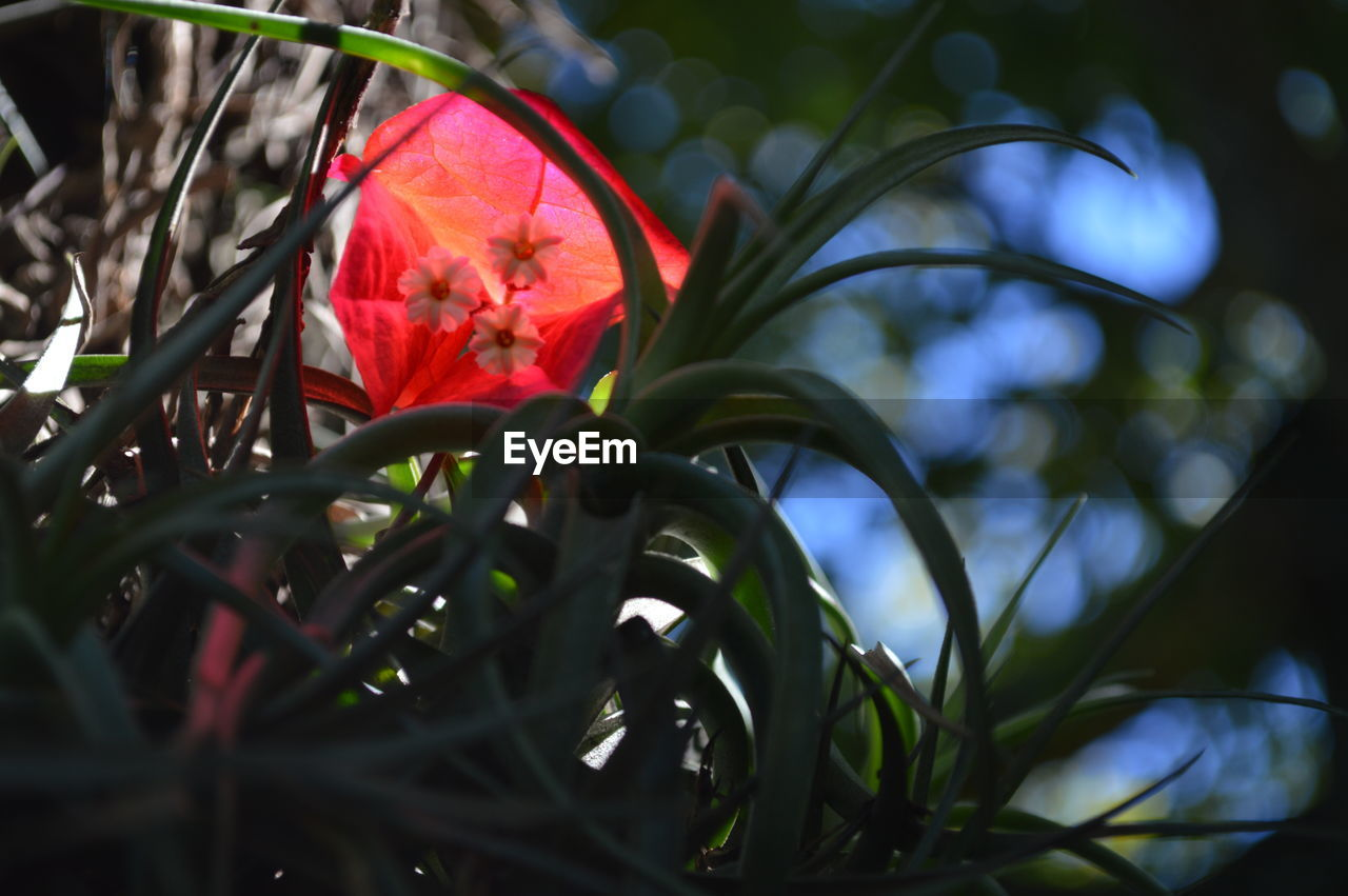flower, petal, growth, beauty in nature, fragility, nature, red, freshness, flower head, plant, close-up, no people, leaf, day, outdoors, blooming