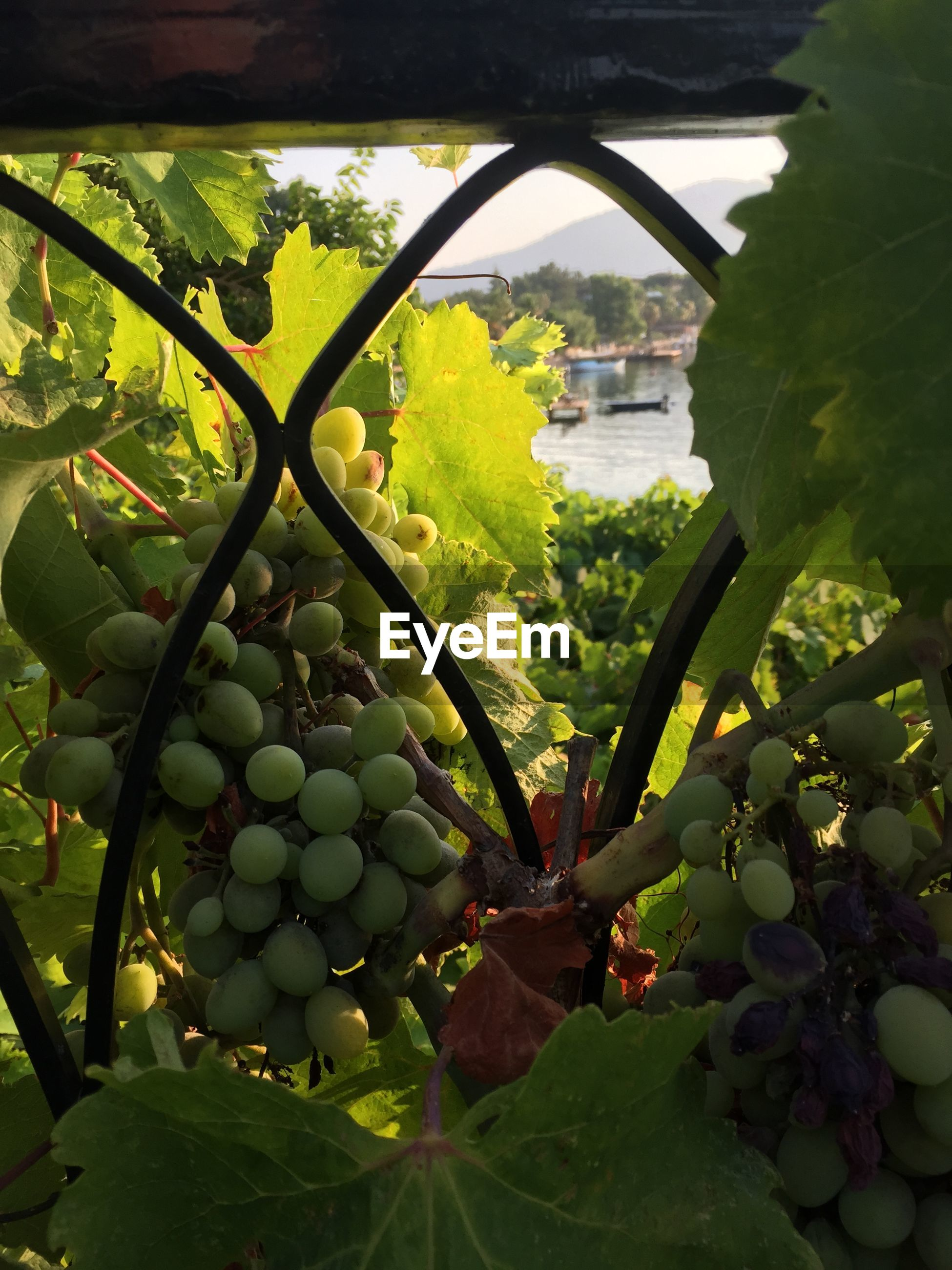 fruit, food and drink, healthy eating, food, freshness, leaf, growth, green color, tree, agriculture, grape, hanging, vineyard, ripe, close-up, bunch, branch, nature, plant, vine