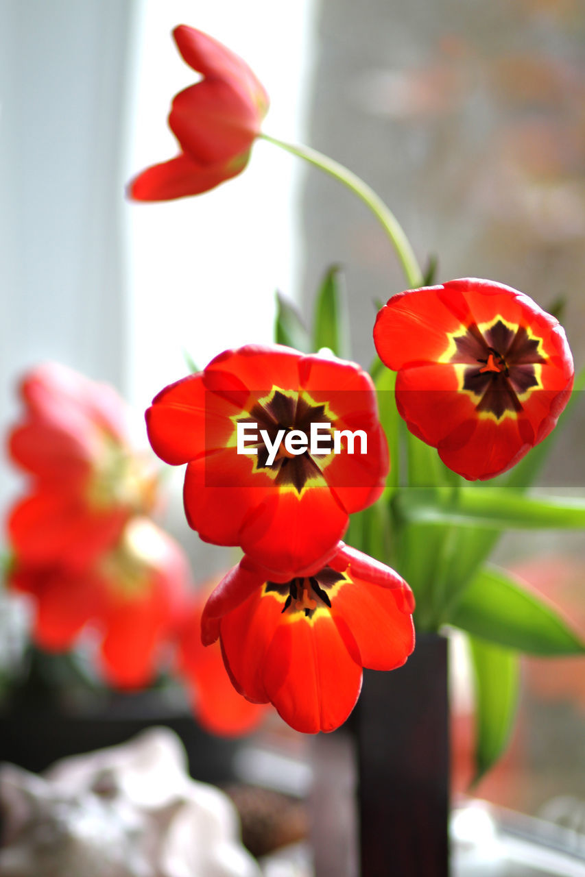 flower, petal, focus on foreground, growth, flower head, beauty in nature, day, fragility, red, freshness, no people, plant, nature, indoors, close-up, blooming