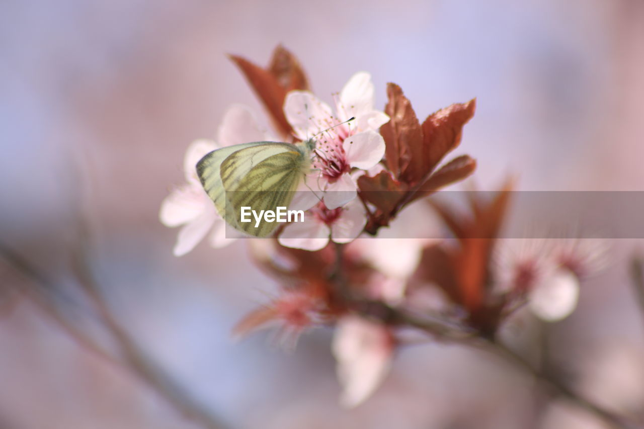 flower, flowering plant, plant, fragility, vulnerability, freshness, beauty in nature, growth, petal, selective focus, close-up, nature, no people, flower head, inflorescence, pink color, day, blossom, pollen, outdoors, springtime, cherry blossom, cherry tree