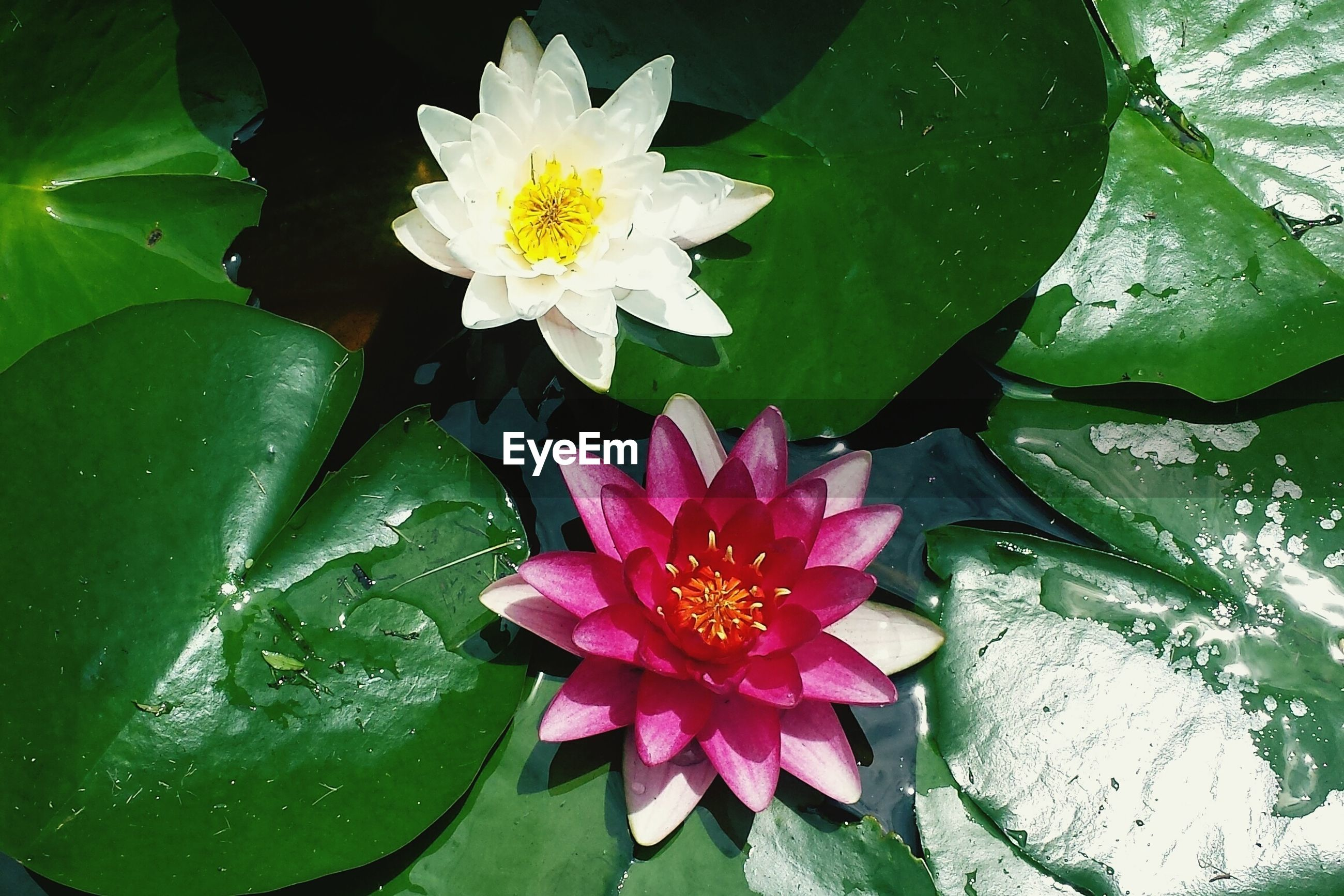 flower, petal, freshness, fragility, flower head, leaf, water lily, growth, water, pond, beauty in nature, blooming, plant, high angle view, floating on water, nature, single flower, close-up, pollen, lotus water lily