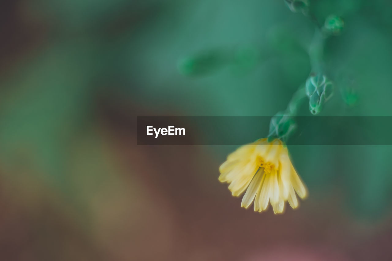 plant, fragility, close-up, vulnerability, flower, flowering plant, beauty in nature, freshness, growth, yellow, petal, flower head, nature, no people, focus on foreground, selective focus, inflorescence, day, green color, pollen, outdoors