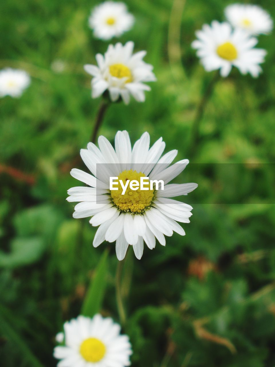 flowering plant, flower, freshness, plant, beauty in nature, petal, white color, vulnerability, fragility, growth, flower head, inflorescence, daisy, close-up, yellow, nature, focus on foreground, day, pollen, no people