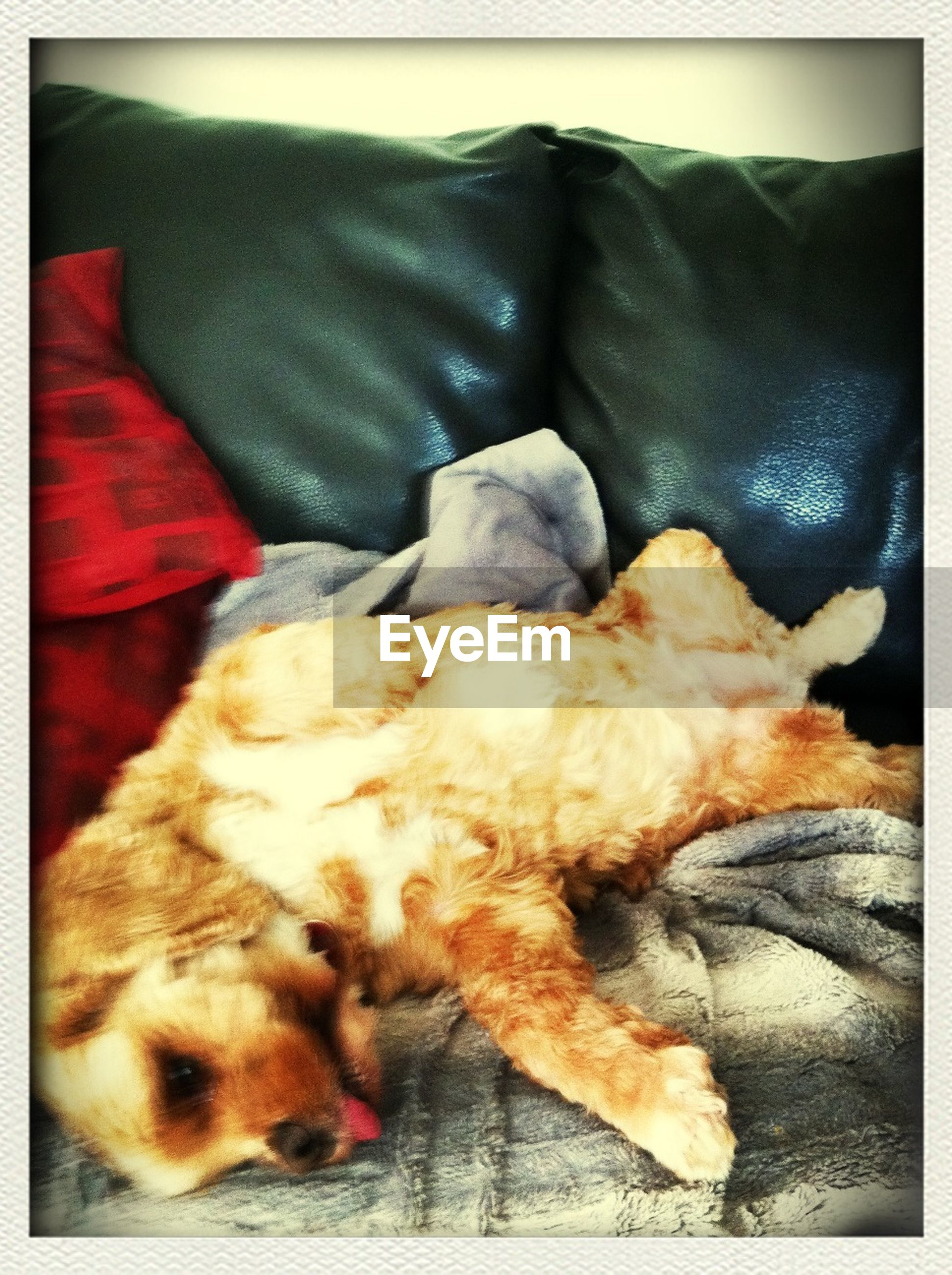 domestic animals, pets, transfer print, animal themes, dog, indoors, one animal, mammal, sleeping, relaxation, auto post production filter, resting, lying down, bed, home interior, sofa, eyes closed, comfortable, high angle view, close-up