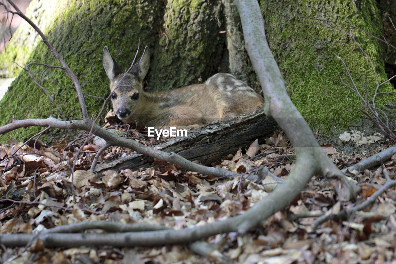 Deer under tree trunk in forest
