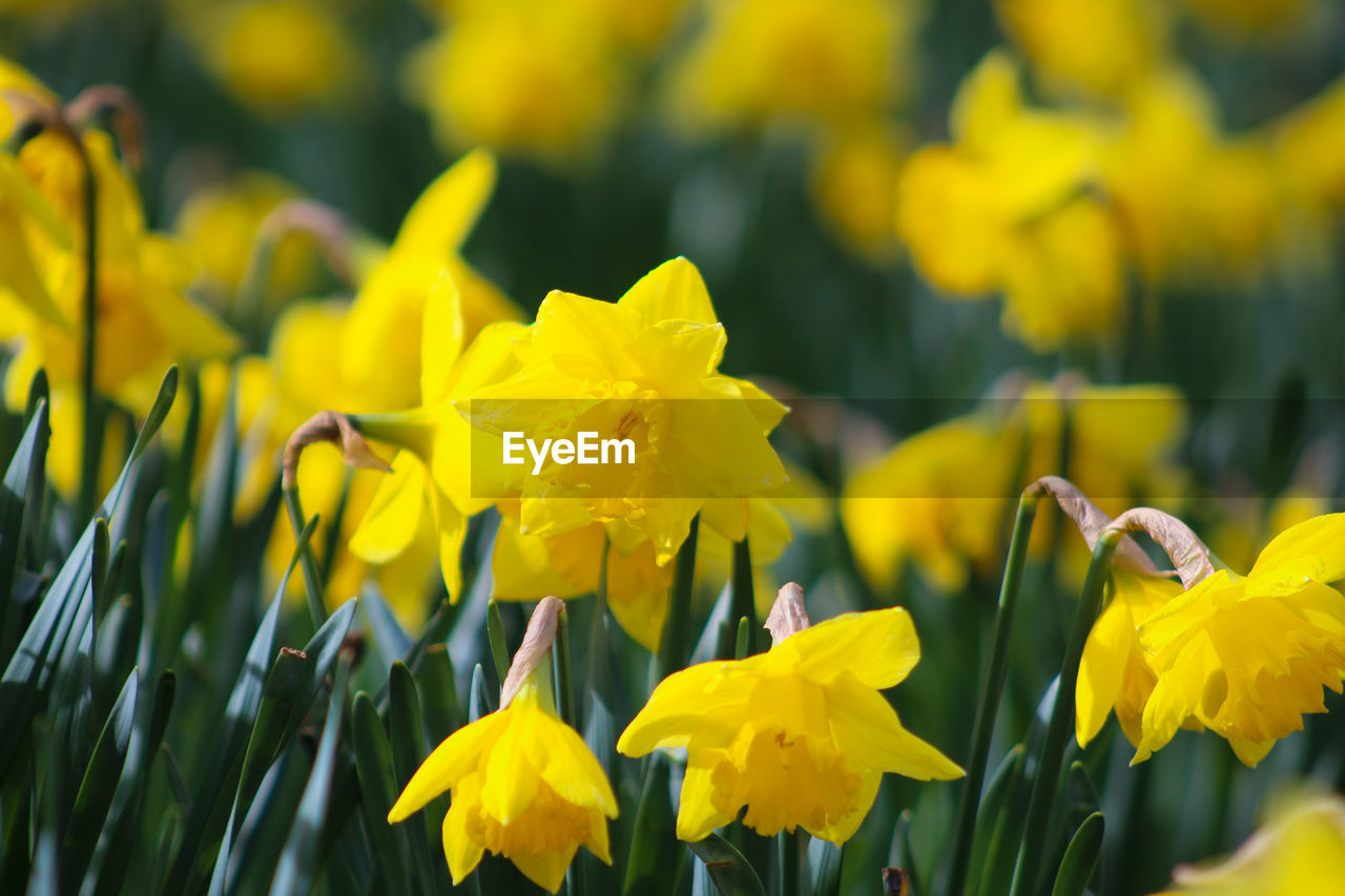flower, flowering plant, plant, growth, vulnerability, fragility, beauty in nature, yellow, petal, freshness, close-up, flower head, inflorescence, nature, day, field, focus on foreground, no people, land, selective focus, pollination