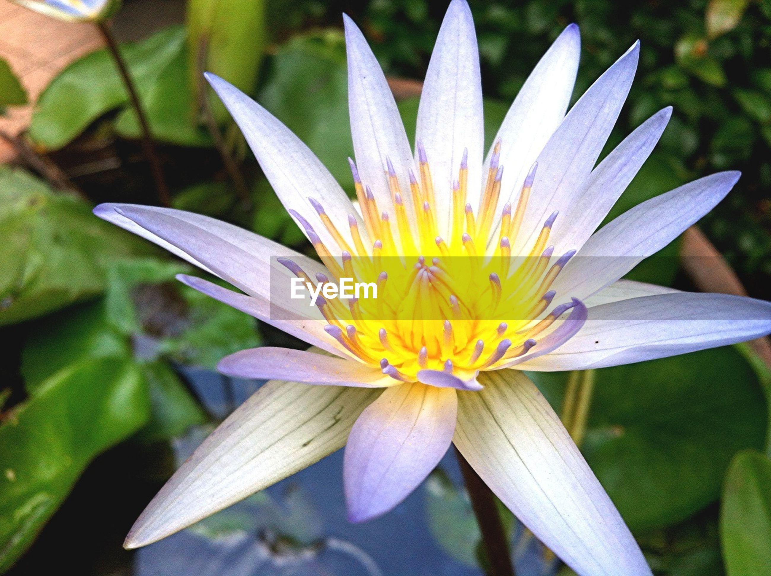 petal, flower, flower head, freshness, fragility, single flower, water lily, pollen, close-up, beauty in nature, growth, blooming, nature, focus on foreground, pond, yellow, plant, stamen, leaf, lotus water lily