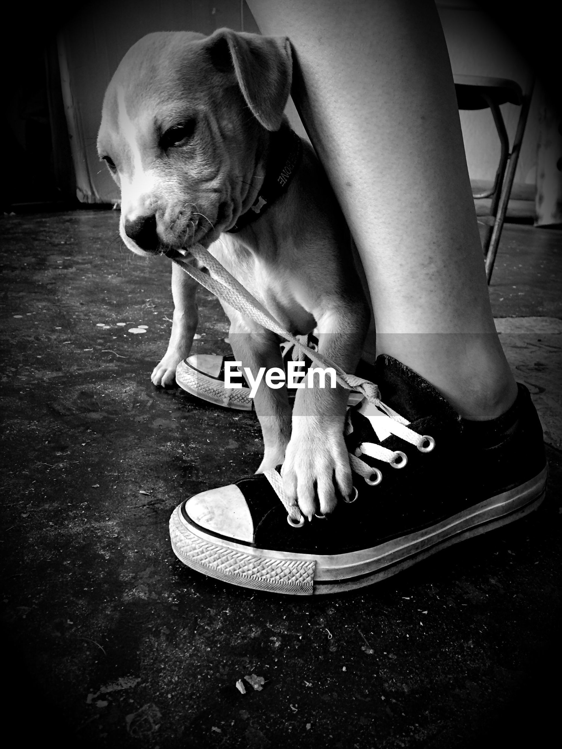 Close-up of puppy biting shoelace of person