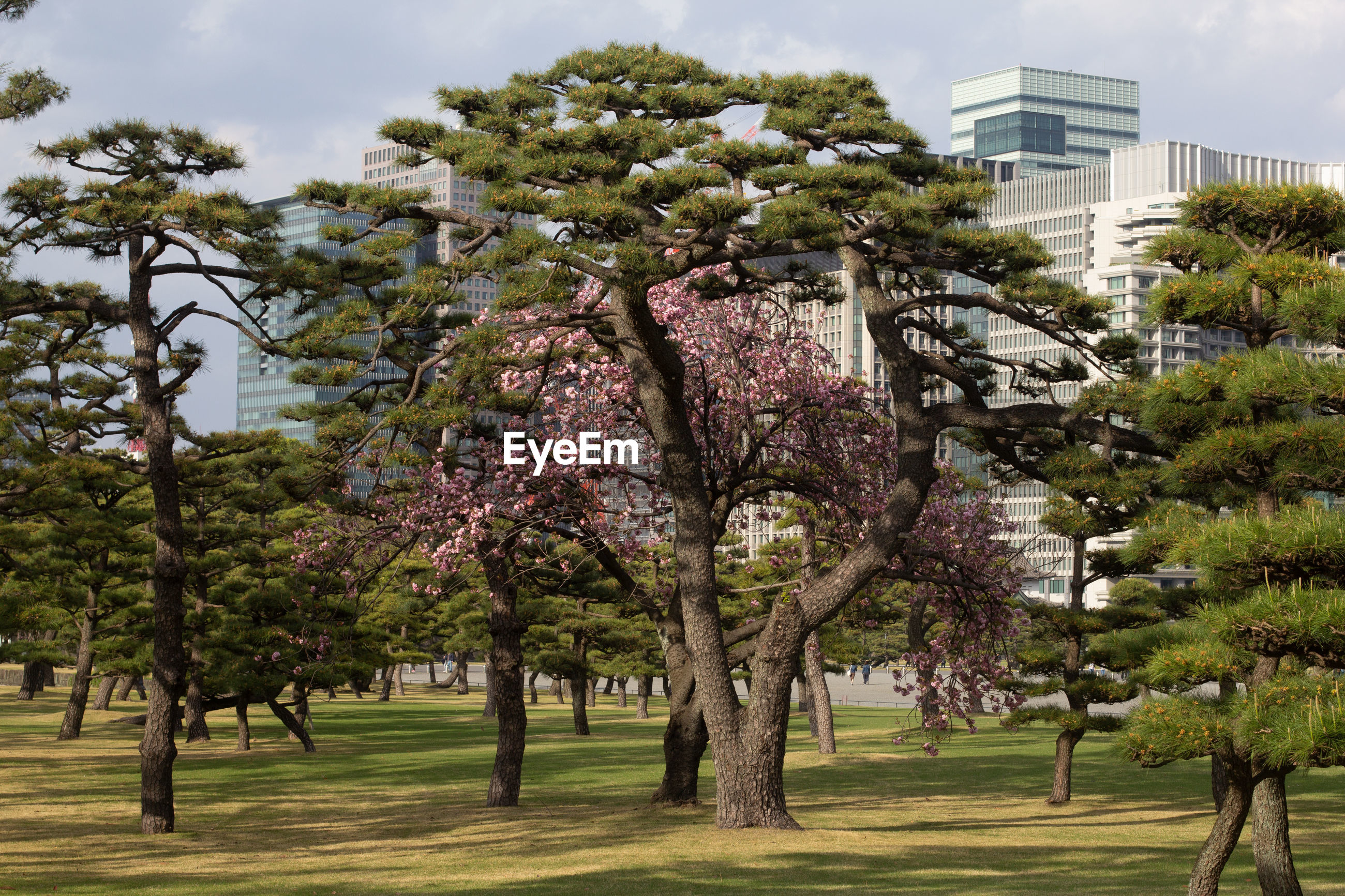 VIEW OF CHERRY TREES BY BUILDING