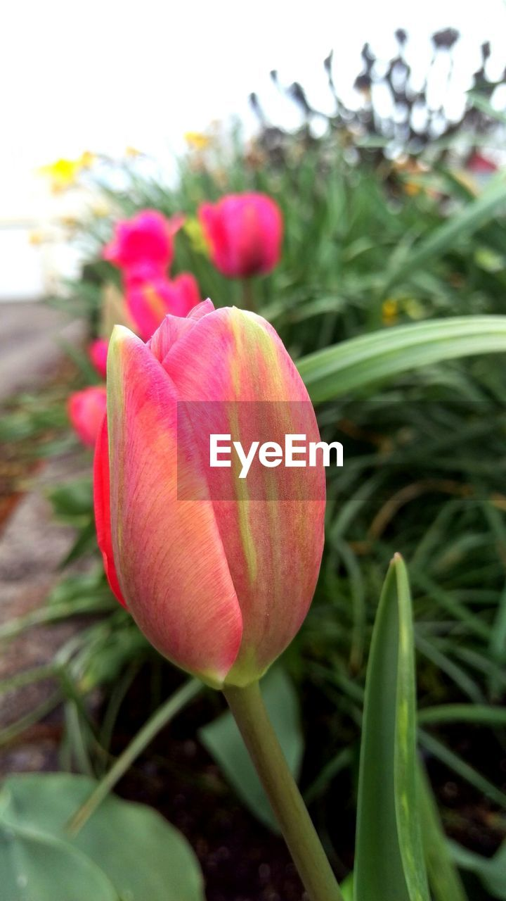 plant, flowering plant, flower, beauty in nature, freshness, vulnerability, fragility, petal, close-up, pink color, growth, nature, inflorescence, flower head, focus on foreground, tulip, no people, day, bud, botany, outdoors