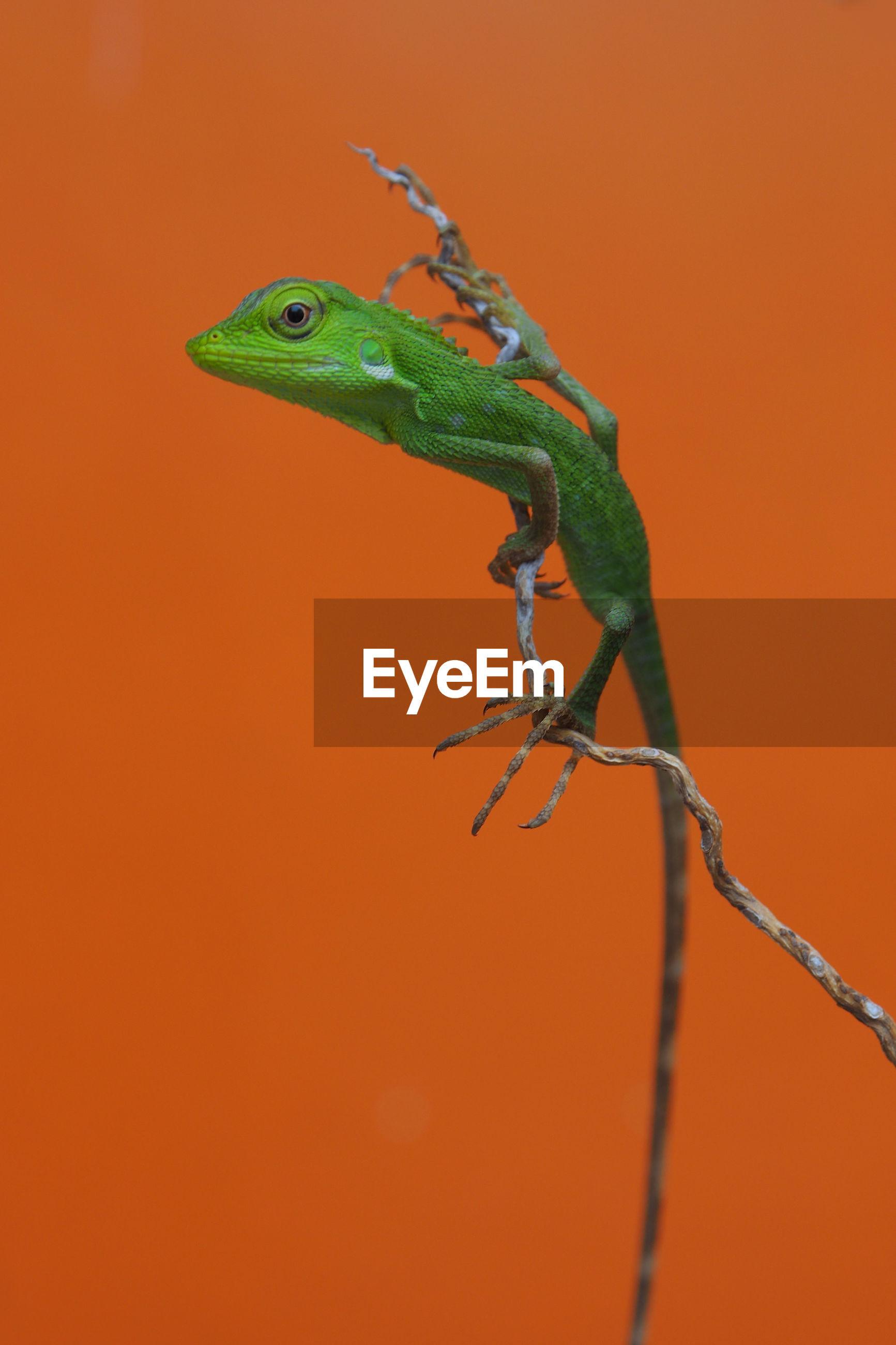 Close-up of lizard on twig against orange background