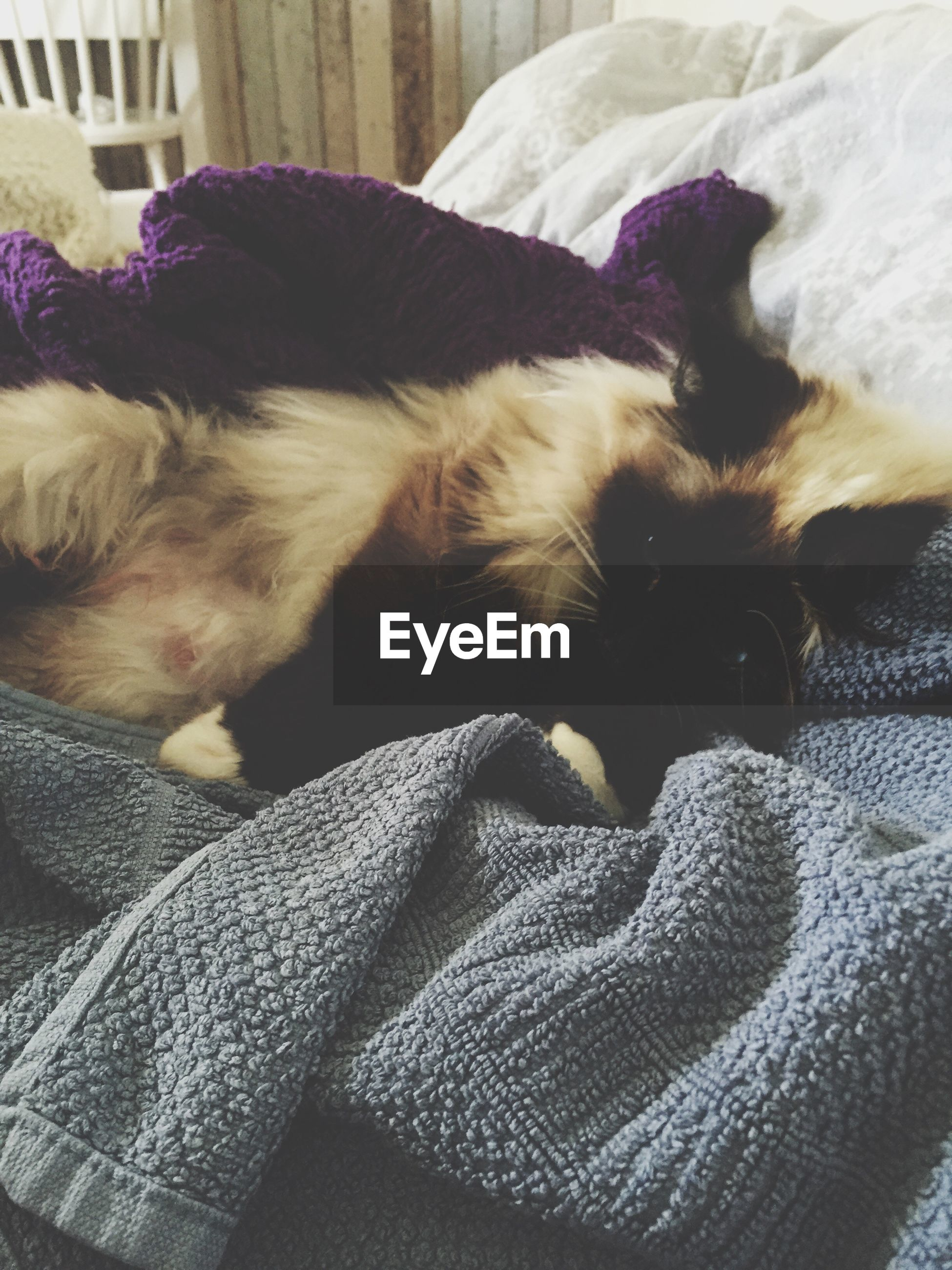 domestic animals, pets, animal themes, mammal, one animal, dog, indoors, relaxation, resting, bed, lying down, sleeping, sofa, home interior, blanket, close-up, no people, comfortable, high angle view, two animals