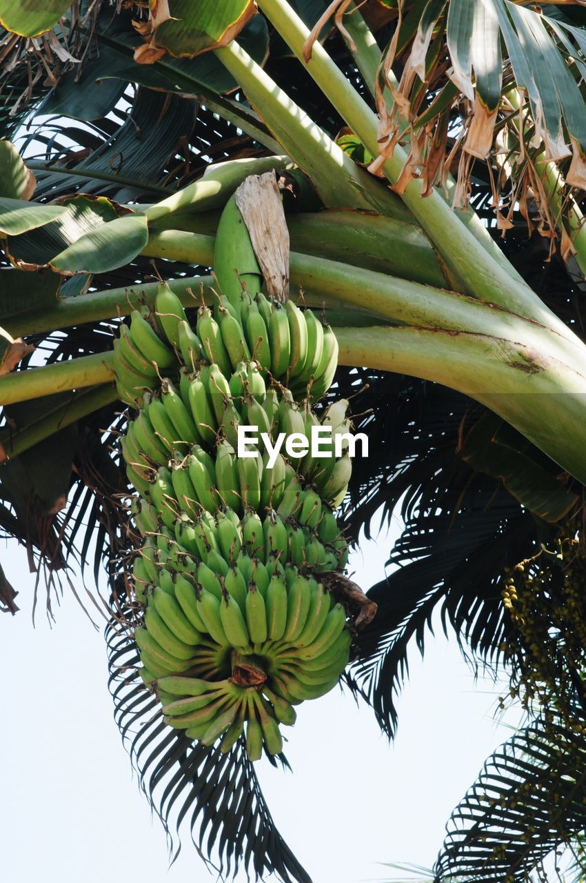 fruit, tropical fruit, banana, food, growth, healthy eating, banana tree, tree, food and drink, green color, low angle view, leaf, freshness, agriculture, no people, unripe, sweet food, nature, palm tree, beauty in nature, plant, outdoors, day