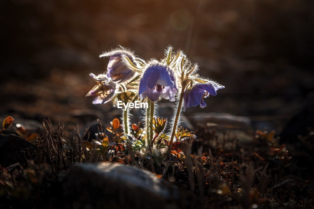 plant, flower, flowering plant, growth, fragility, vulnerability, beauty in nature, selective focus, nature, freshness, close-up, land, no people, field, day, flower head, inflorescence, petal, outdoors, dry, softness, dandelion seed