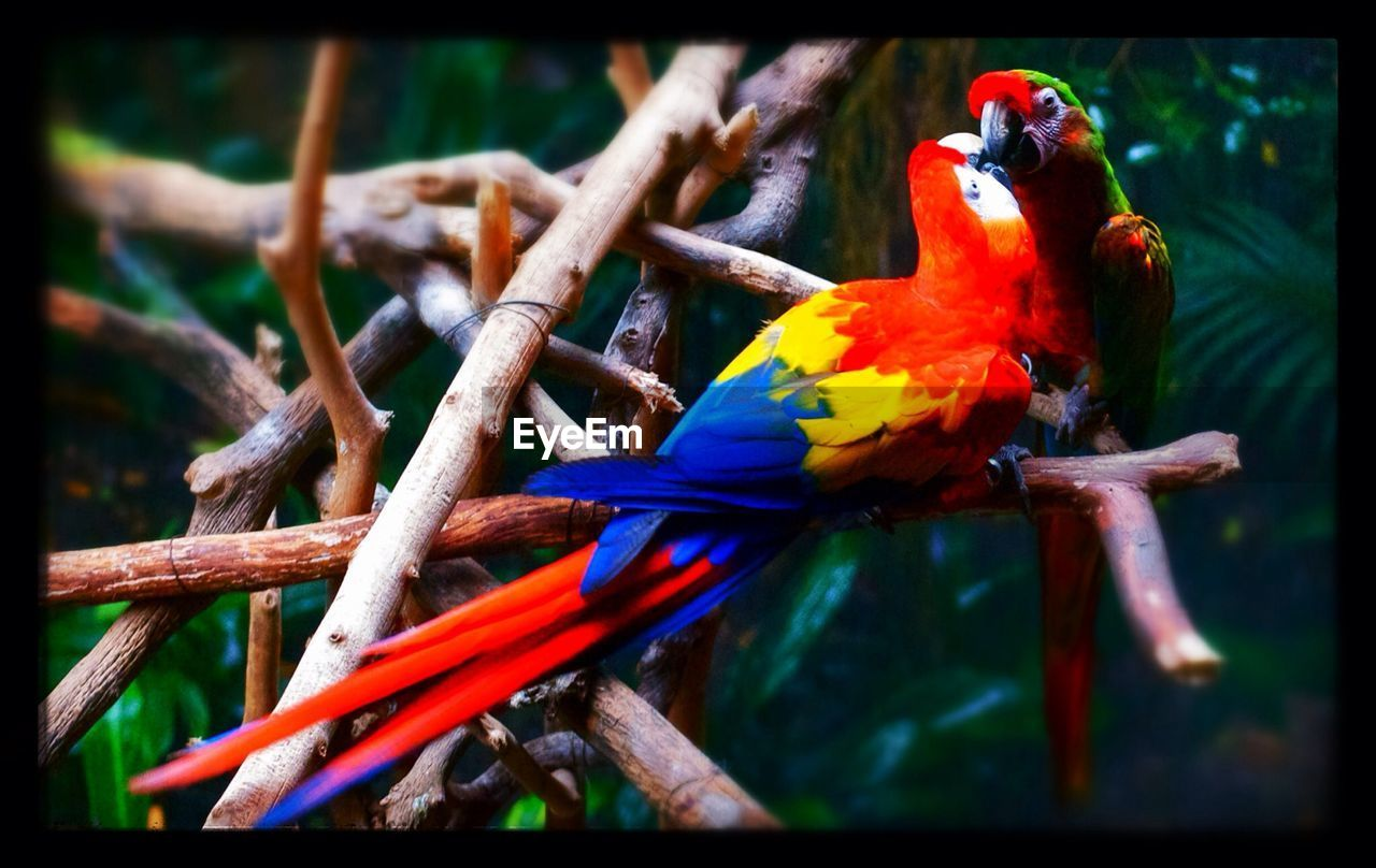 Scarlet macaw perched on branches