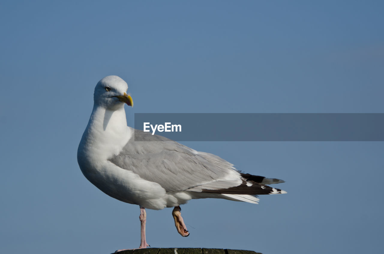 Close-up of seagull against sky