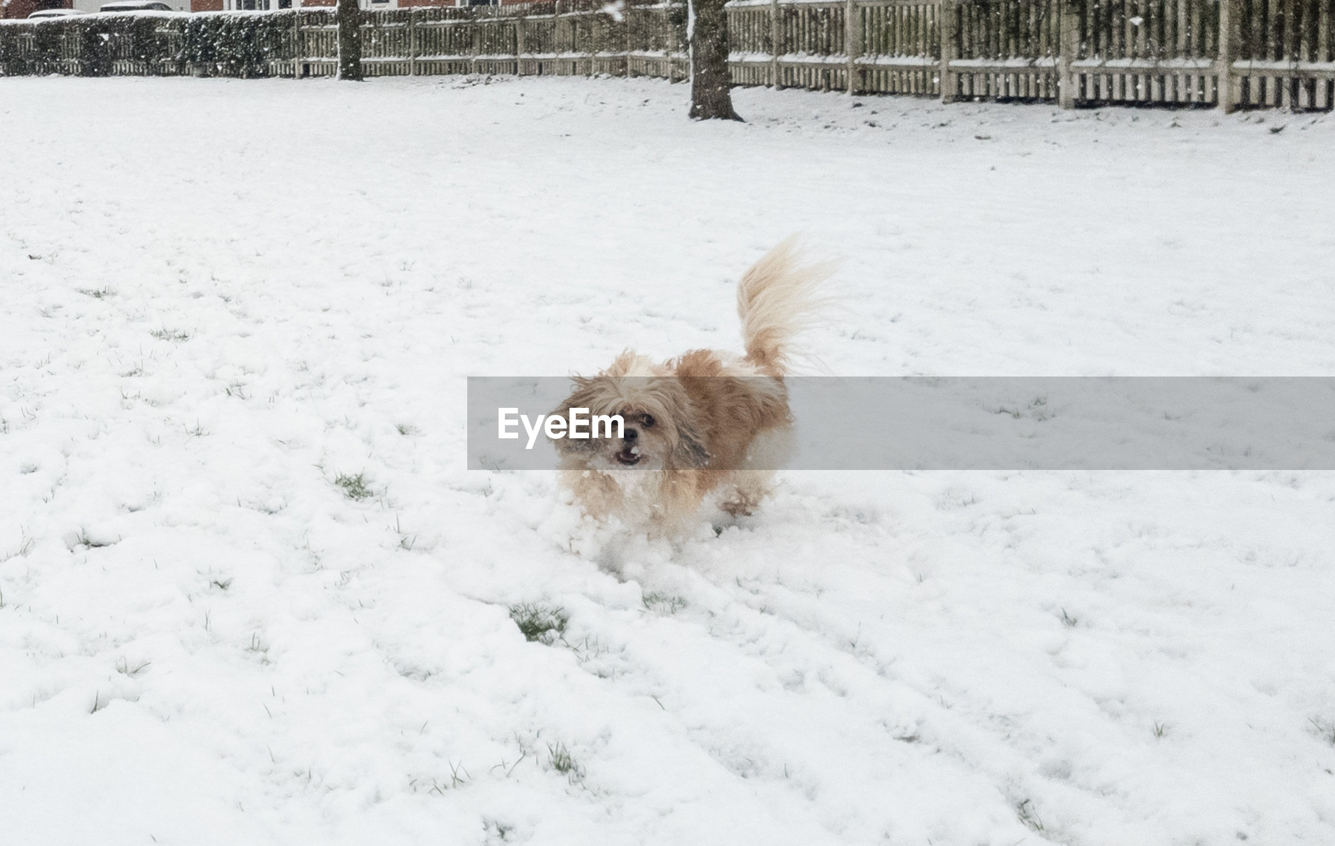 snow, canine, dog, one animal, cold temperature, winter, pets, domestic, domestic animals, mammal, animal themes, animal, white color, vertebrate, field, nature, covering, no people, land, outdoors, snowing