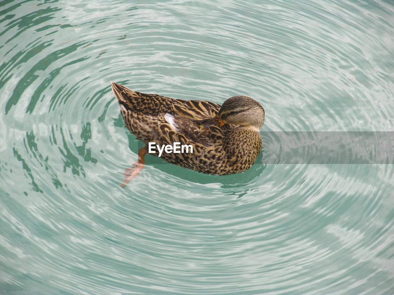 High angle view of duck in lake