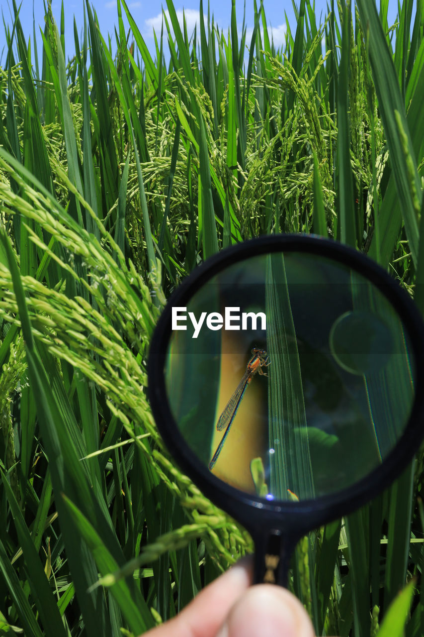green color, plant, growth, nature, field, one person, land, grass, real people, day, human hand, human body part, holding, agriculture, reflection, leisure activity, outdoors, hand, unrecognizable person, beauty in nature, finger, blade of grass