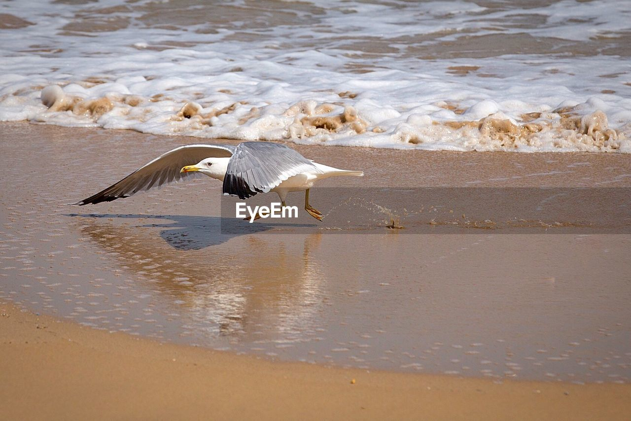 vertebrate, animal, animal themes, bird, water, animals in the wild, animal wildlife, beach, flying, sea, spread wings, group of animals, land, day, nature, no people, beauty in nature, white color, seagull