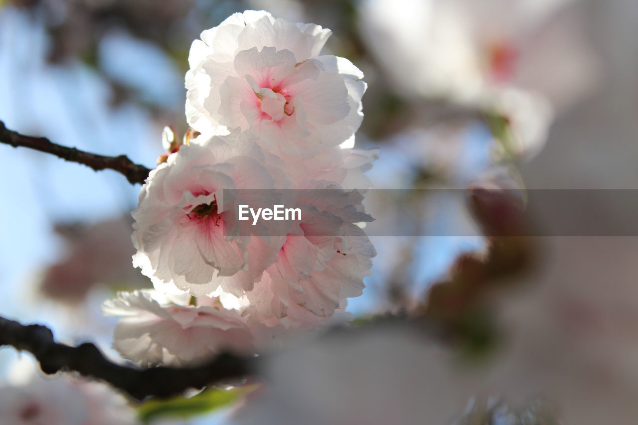 flower, blossom, fragility, beauty in nature, springtime, botany, white color, nature, growth, petal, flower head, apple blossom, twig, branch, stamen, freshness, tree, plum blossom, pollen, selective focus, orchard, no people, close-up, day, spring, outdoors, blooming