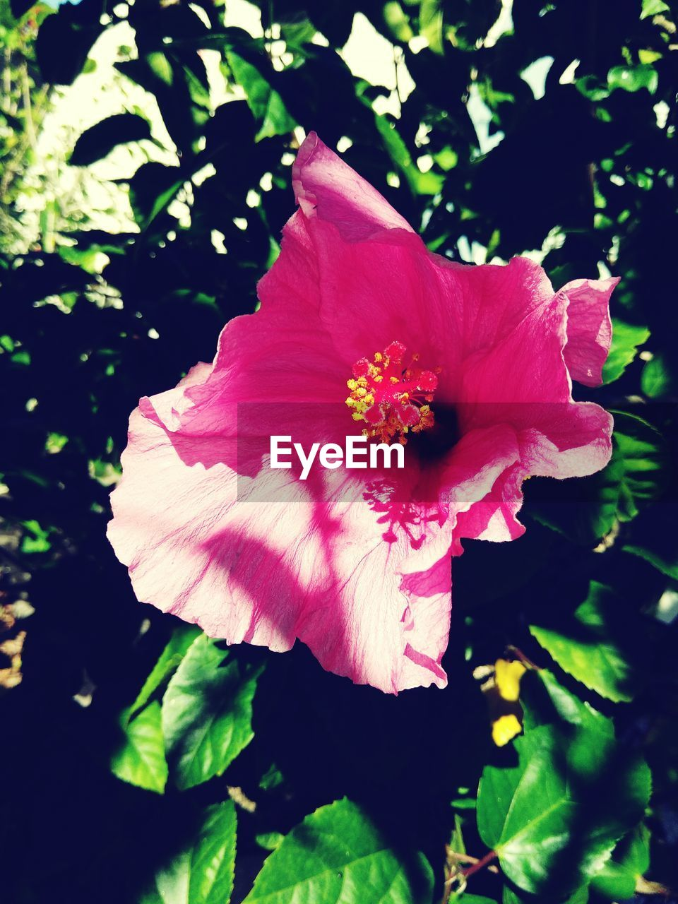 flower, petal, beauty in nature, fragility, nature, flower head, growth, no people, plant, blooming, freshness, close-up, pink color, outdoors, hibiscus, day