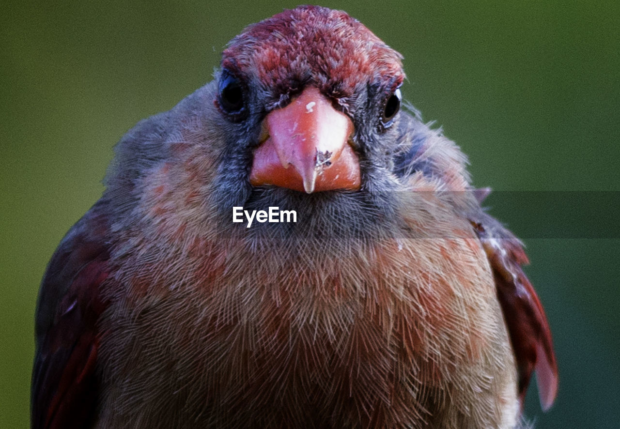bird, vertebrate, animal themes, animal, one animal, close-up, animals in the wild, animal wildlife, beak, focus on foreground, no people, day, animal body part, looking at camera, red, portrait, nature, looking, animal head, animal eye, animal mouth