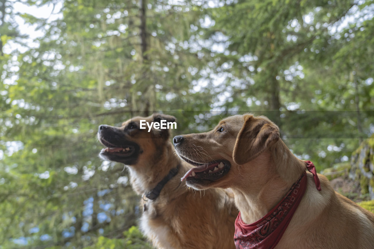 canine, dog, animal themes, one animal, domestic, mammal, domestic animals, pets, animal, tree, plant, focus on foreground, day, looking, nature, pet collar, collar, animal body part, looking away, golden retriever, no people, mouth open, panting, animal head, animal mouth